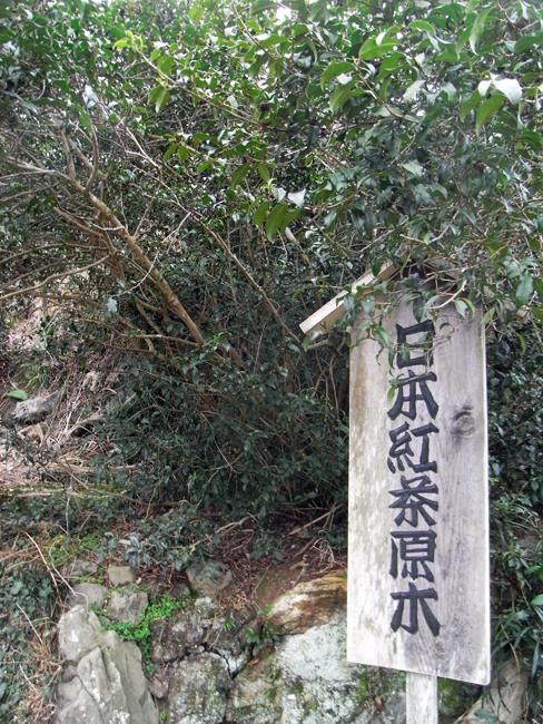 日本紅茶原木